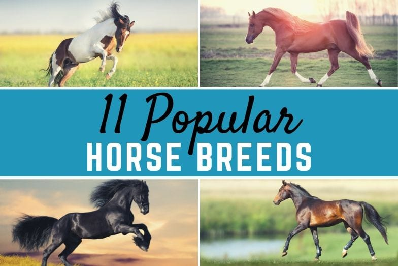 11 popular horse breeds