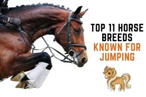 Best 11 Horse Breeds for Show Jumping