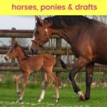 pinterest image - 15 German Horse Breeds