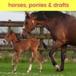 pinterest image - 15 German Horse Breeds