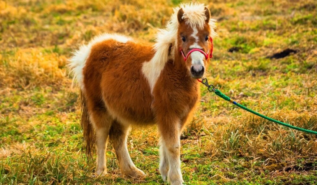 pony standing in an open filed