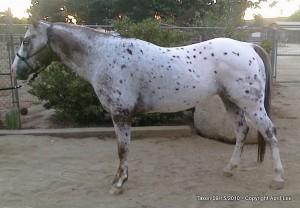 Rocky - Appaloosa Horse Photography