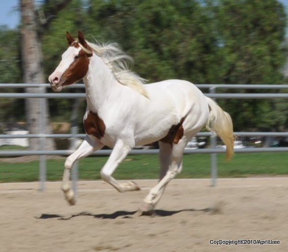 red and white paint horse galloping