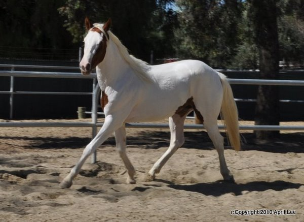 red and white paint horse trotting