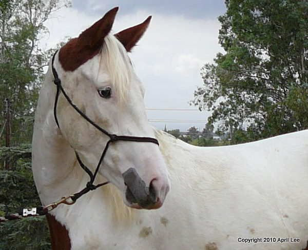 portrait of a medicine hat horse