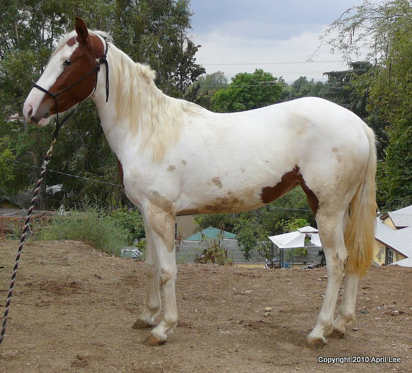 mostly white pinto horse