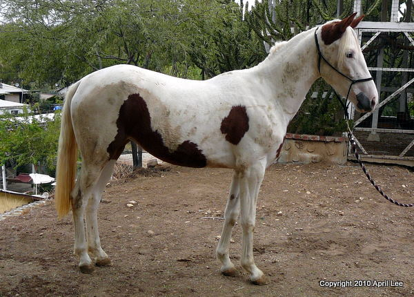 red and white pinto horse during photography session
