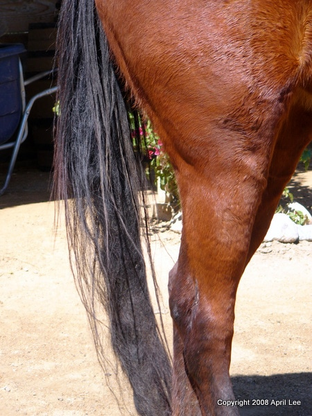 tangled horse tail