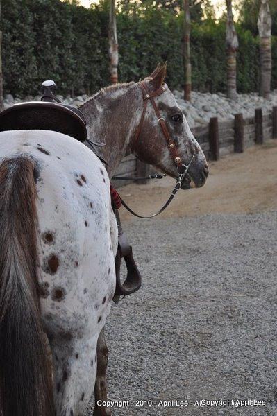 Appaloosa Horse PHoto