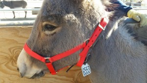 Extra holes in halter on burro.