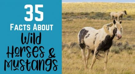 35 Facts About Wild Horses and Mustangs