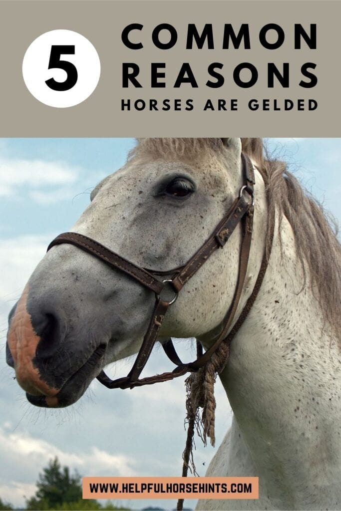 Pinterest pin - 5 Common Reasons Horses are Gelded