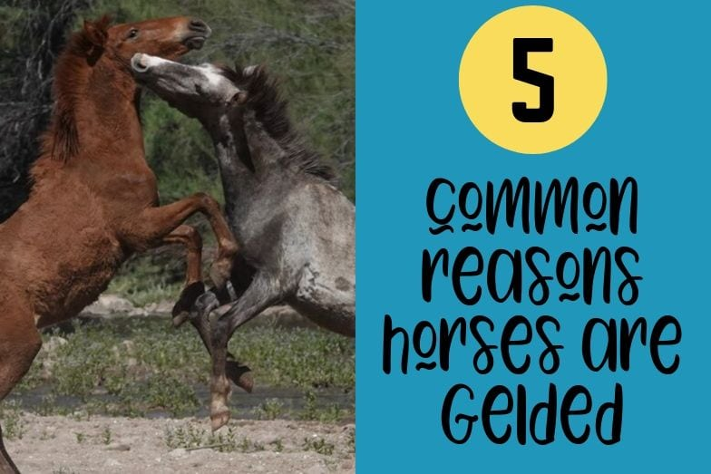 5 Common Reasons Horses are Gelded