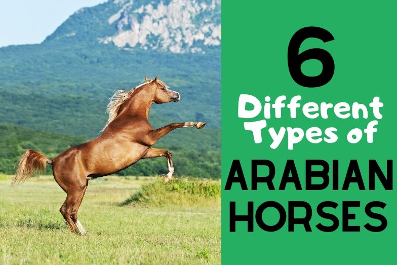 6 Main Types of Purebred Arabian Horses