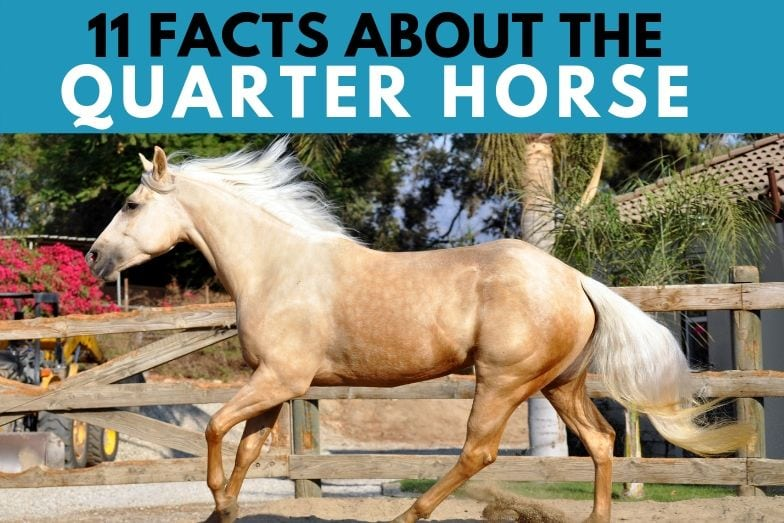 11 Interesting Facts about the Quarter Horse