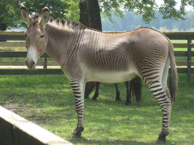A Zonkey By Ruth boraggina from Belleville, USA - A zonky, CC BY 2.0, https://commons.wikimedia.org/w/index.php?curid=3487866