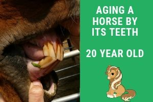 Aging a Horse By It's Teeth – 20 Years 9 Months Arabian