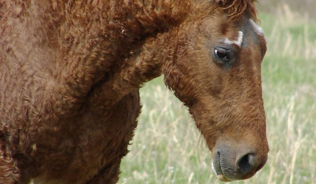 American Bashkir Curly Horse