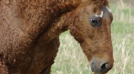 Curly Horse Facts