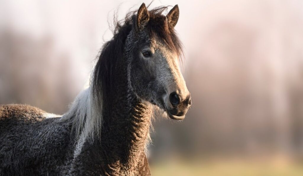 American Curly Horse