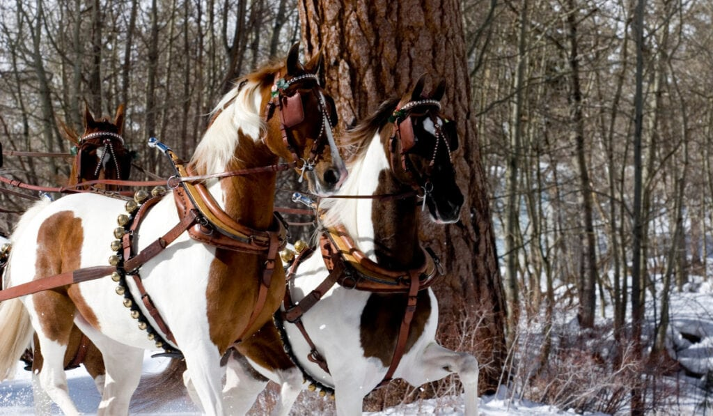 American Saddlebred horses eyes covered in a snowy day