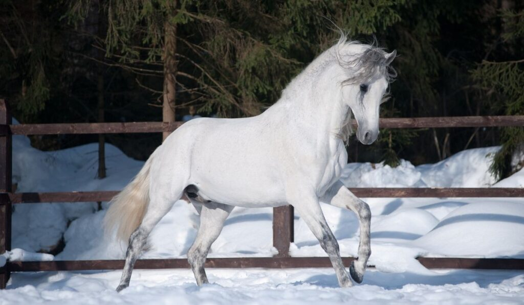 Andalusian White Horse