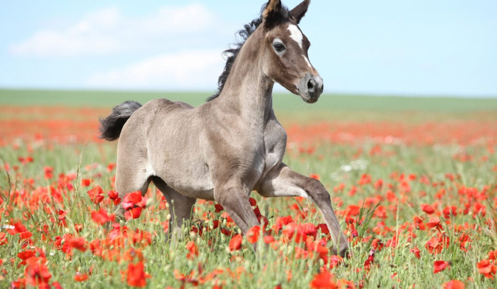 Arabian horse running in the red flowery filed