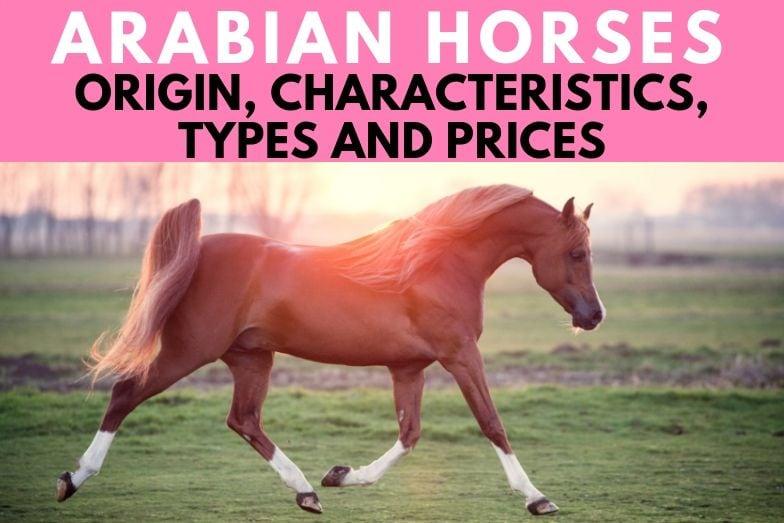 Arabian Horse: Origin, Characteristics, Types and Prices