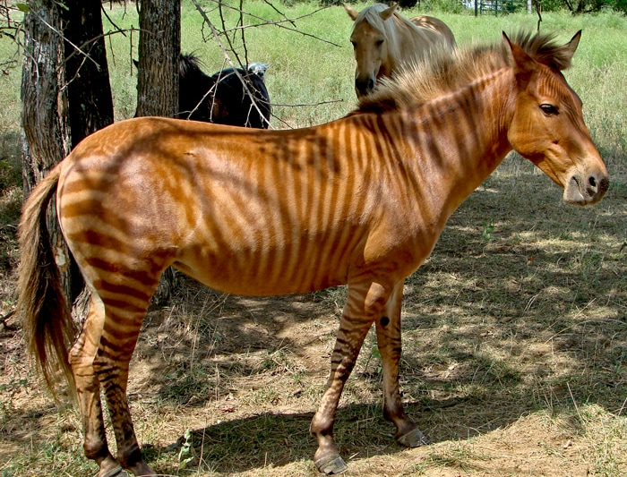 Photo of a Zorse By Kumana @ Wild Equines - originally posted to Flickr as carly, CC BY 2.0, https://commons.wikimedia.org/w/index.php?curid=5175516