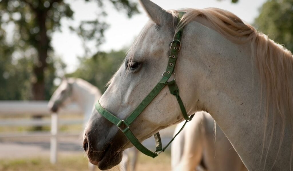 Lipizzan Horse Close-up