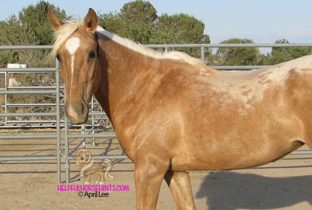 Dark Golden Palomino Mustang Gelding