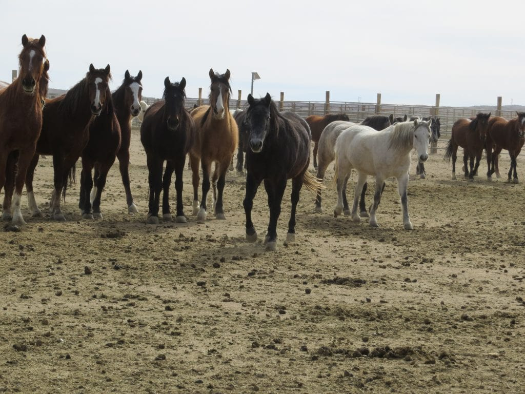 Different Colored BLM Mustangs Waiting to Be Adopted
