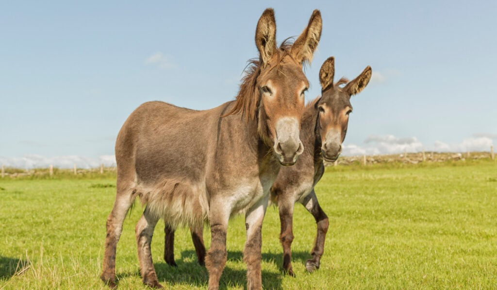 Two Donkeys standing in the field looking at the camera