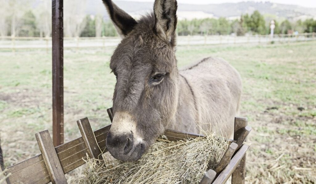 Donkey Eating Straw