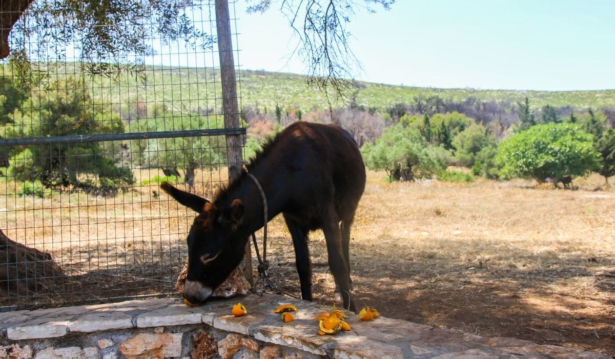 Donkey Horse Eating Oranges