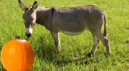 Can Donkeys Eat Pumpkin?