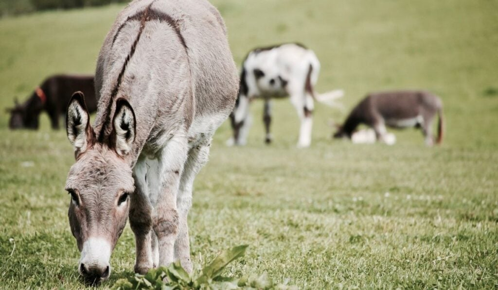 Donkey on The Grass Field
