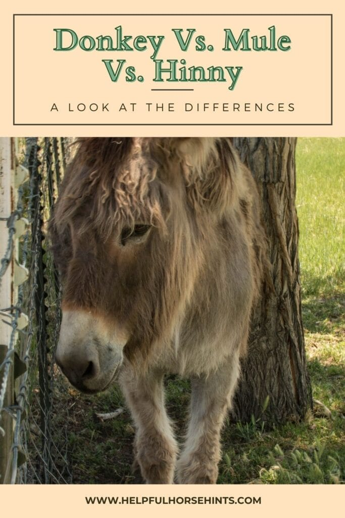 Pinterest pin - Donkey vs. Mule vs. Hinny A Look at the Differences