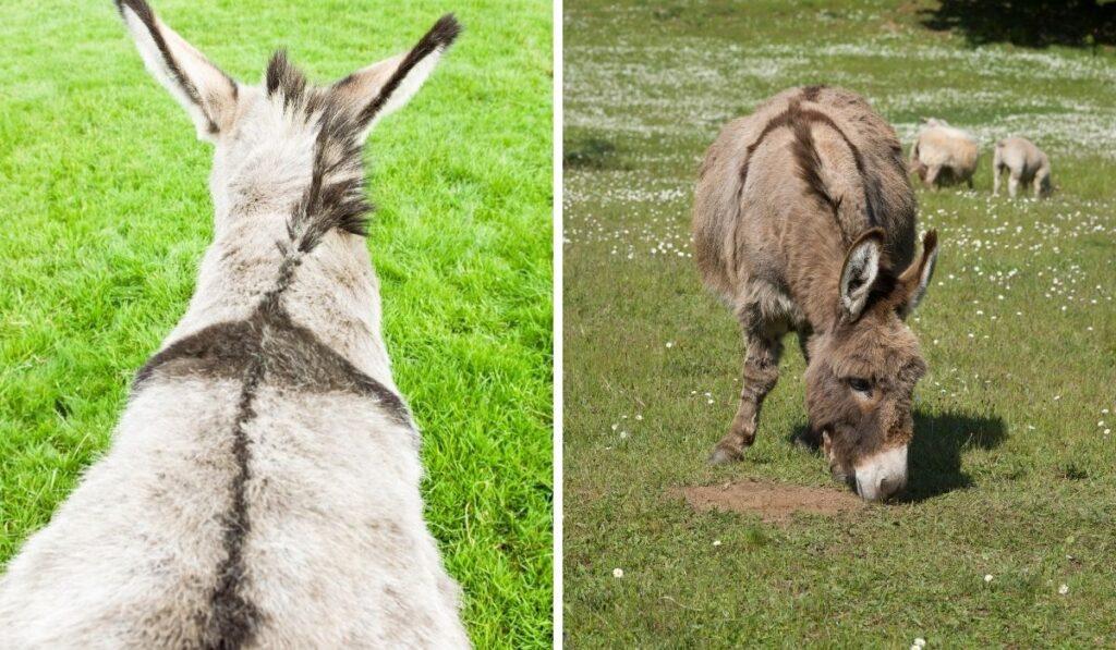 Donkeys-Have-a-Cross