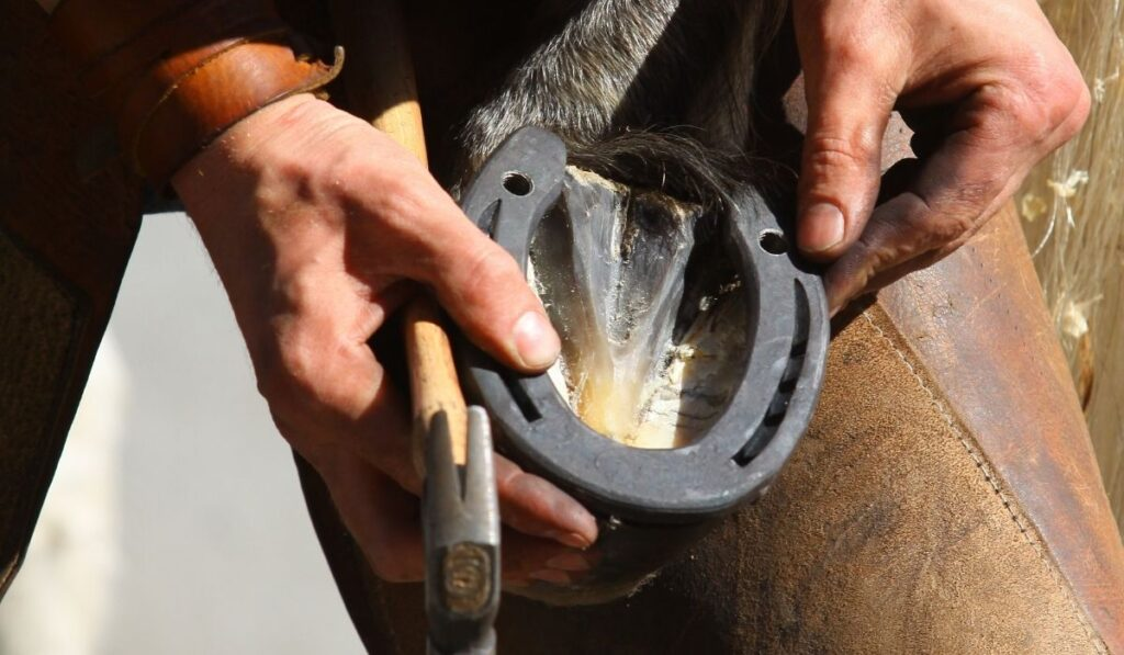 Farrier putting horseshoe on horse