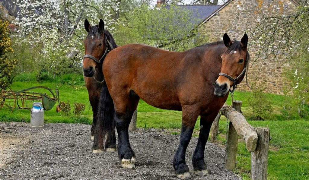 French Horse Breeds