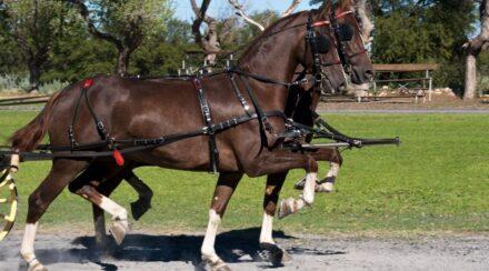 Can a Gaited Horse Jump?