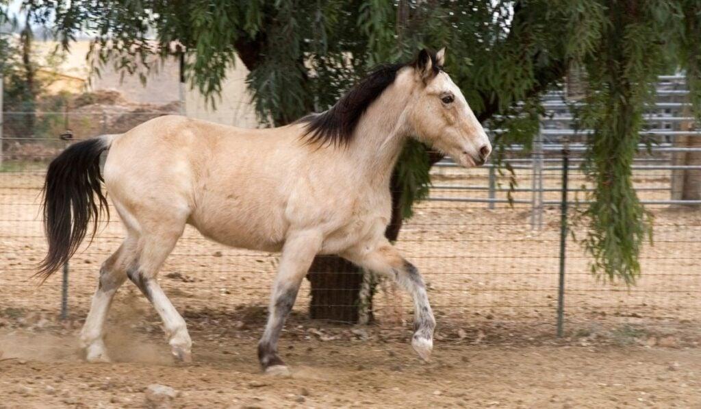 Gaited Horses