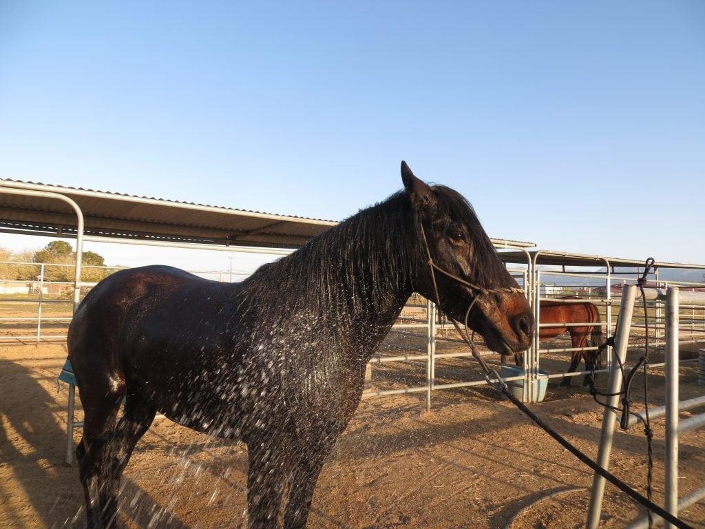 Giving a BLM Mustang a Bath