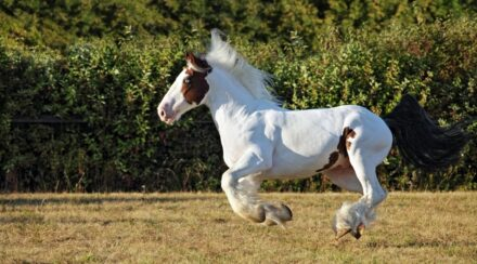Gypsy Vanner Horse Breed Profile