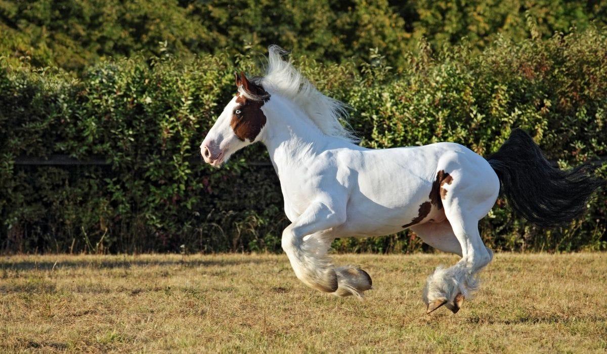 Gypsy Vanners Horse Run Gallop