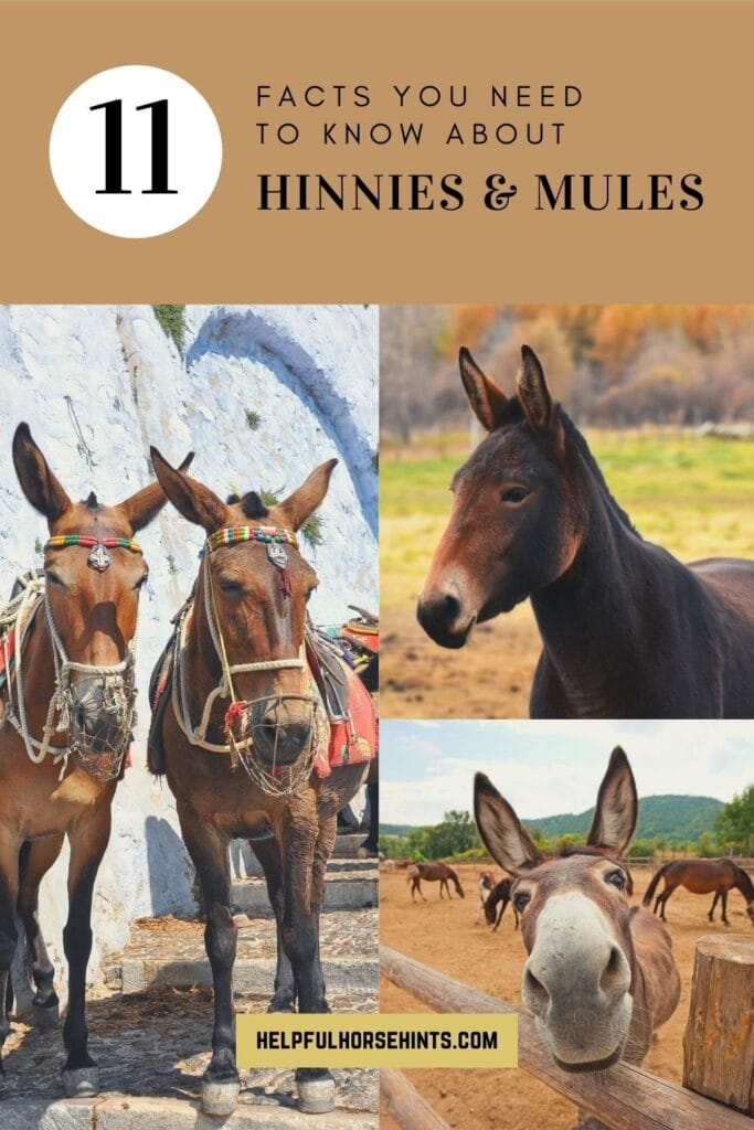 Pinterest pin - Hinny vs. Mule 11 Facts You Need to Know