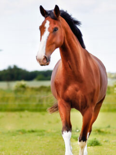 Horse-Breed-1