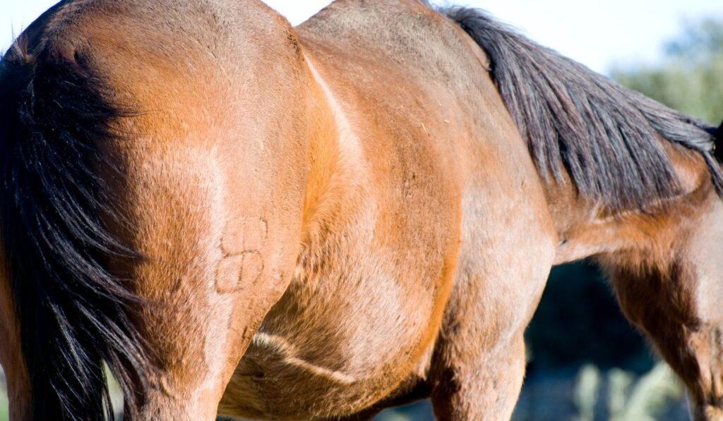 Horse Freeze Branding