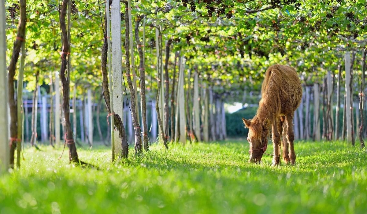 Horse in vine yard